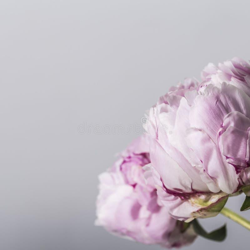 在绽放的桃红色牡丹花在灰色背景 库存图片