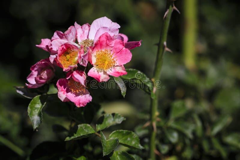 在绽放的桃红色花 库存照片