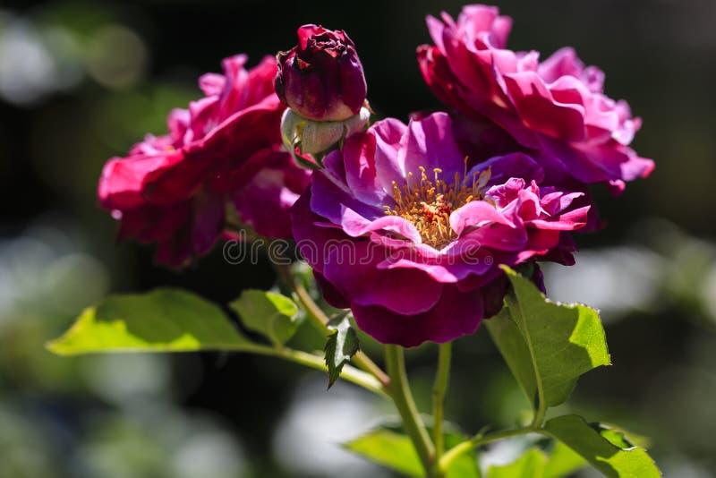 在绽放的桃红色花 库存图片