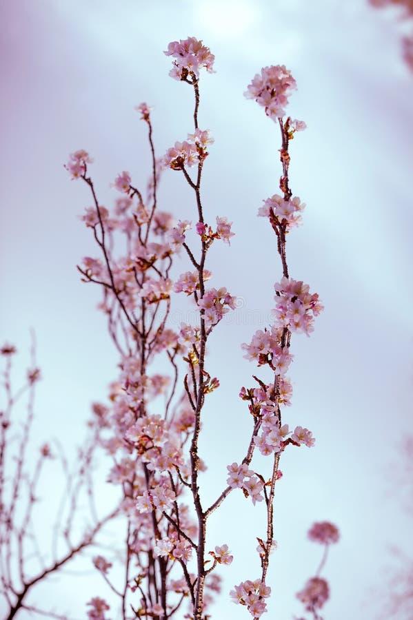 在绽放的樱桃树分支 葡萄酒软岗位处理 免版税库存图片