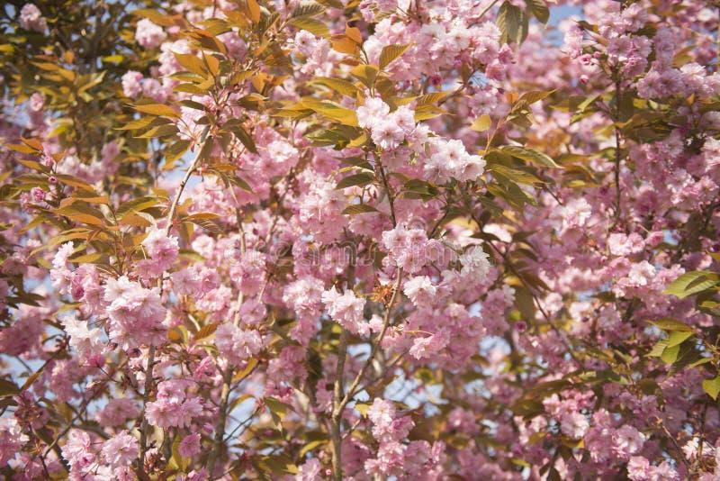 在绽放的樱花树 库存照片