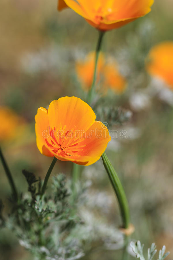 在绽放的橙色花 库存照片