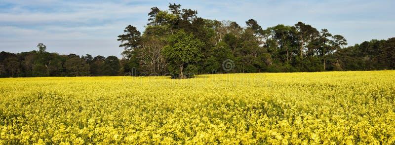 在绽放的油菜籽领域 库存图片