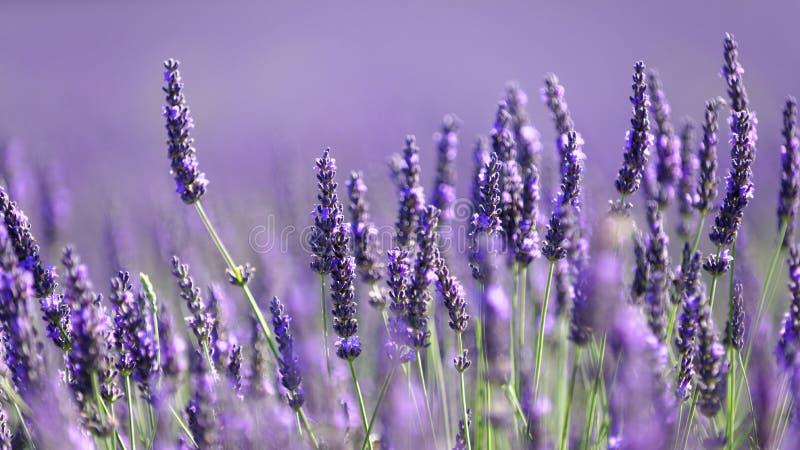 在绽放的淡紫色花 免版税库存照片