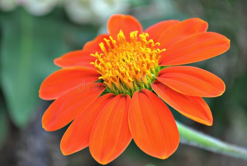 在绽放的百日菊属花 免版税库存图片