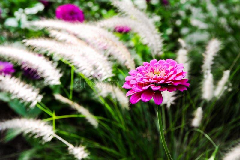 在绽放的百日菊属 库存照片