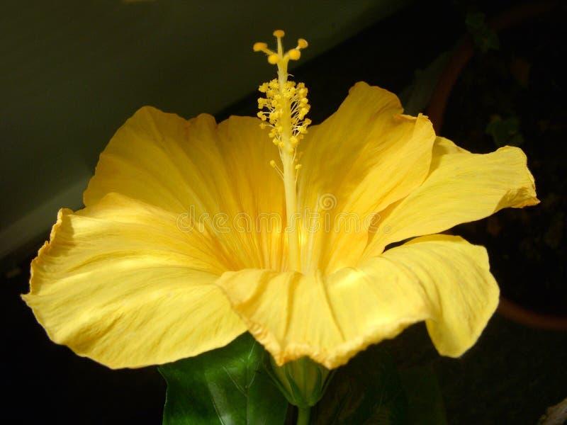 在绽放的美丽的开花的黄色木槿 库存照片
