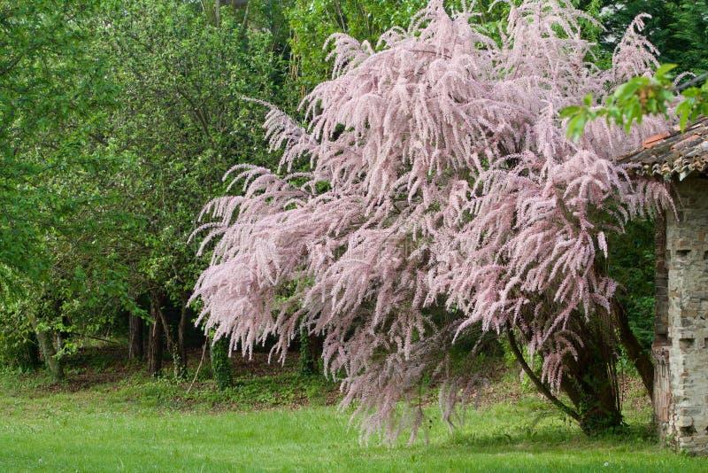 在绽放的美丽的落叶灌木 免版税图库摄影