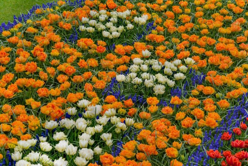在绽放的花田 五颜六色在Keukenhof庭院里tulpen, narzissen 库存图片