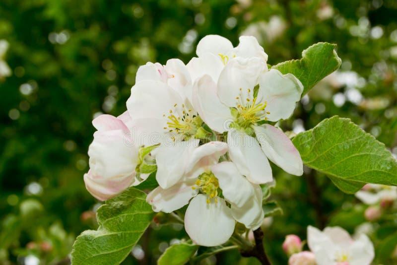 在绽放的苹果树 免版税图库摄影