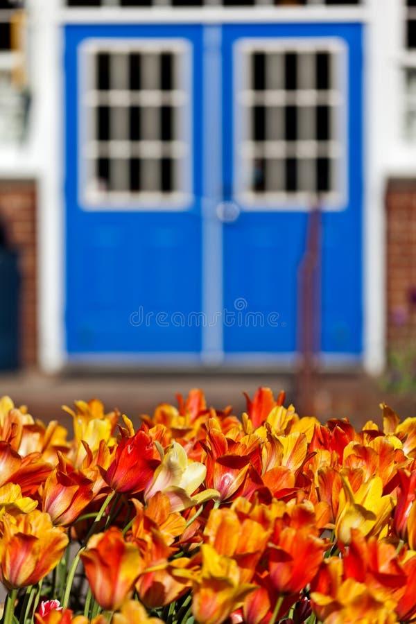 在绽放的豪华的郁金香在荷兰密执安 库存照片