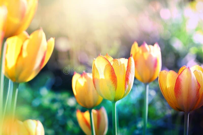 在绽放的软的焦点郁金香花 图库摄影