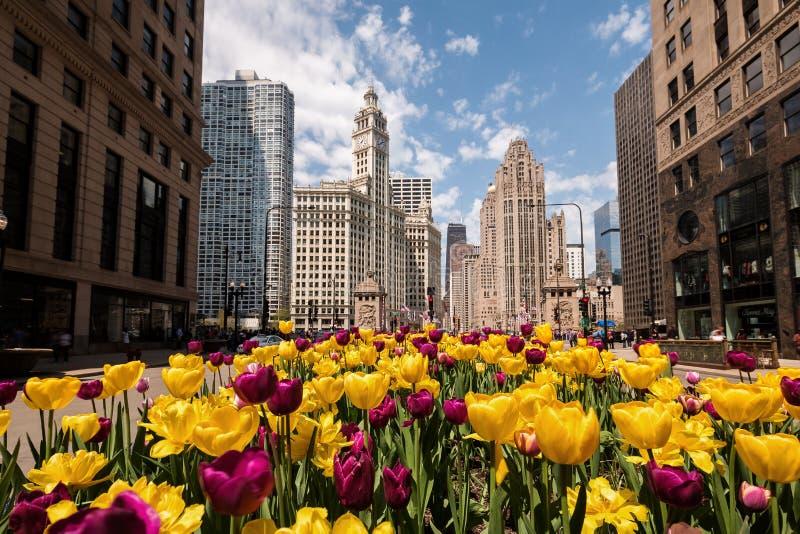 在绽放的郁金香在密执安大道在芝加哥 免版税图库摄影