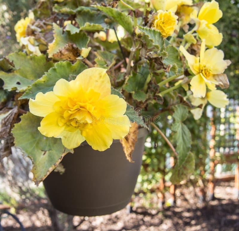 在绽放的黄色秋海棠在庭院里 免版税图库摄影