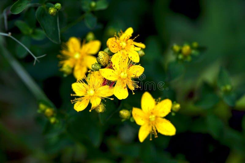 在绽放的黄色花 免版税库存照片