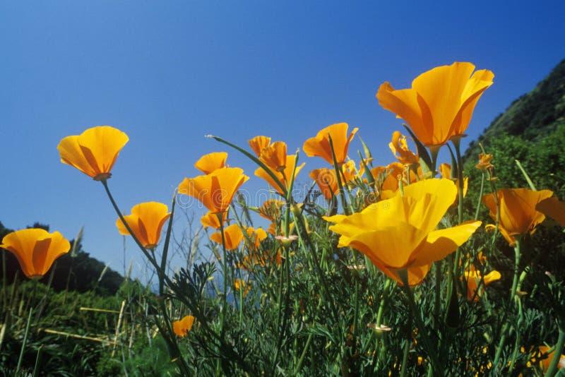 在绽放,北加州的花菱草 免版税库存图片