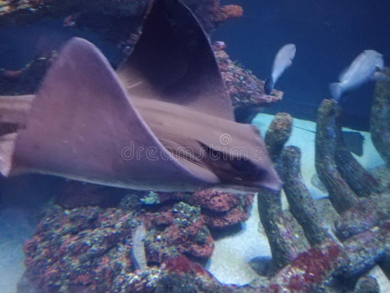 在水族馆的光芒 免版税库存图片
