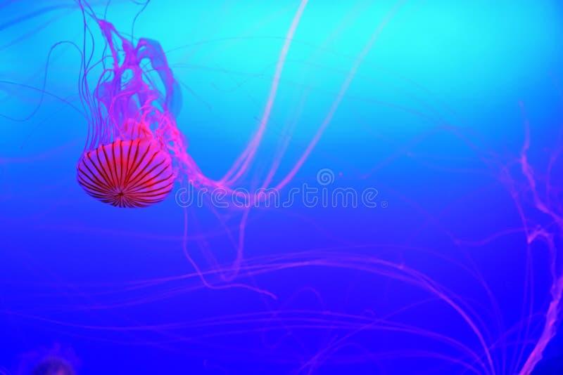 在水族馆的半透明的日本海荨麻松包柯桠素pacifica 库存图片