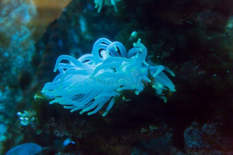 在水族馆的海葵 免版税库存照片