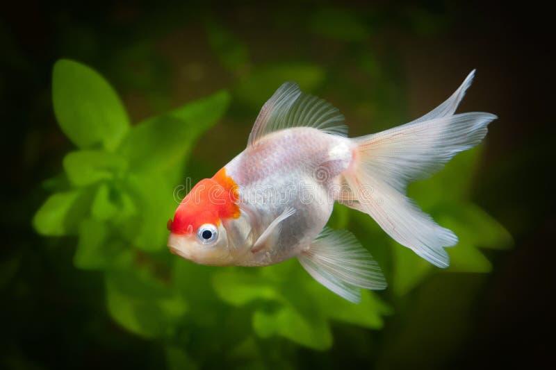 在水族馆的金鱼有绿色植物、断枝和石头的 免版税库存图片