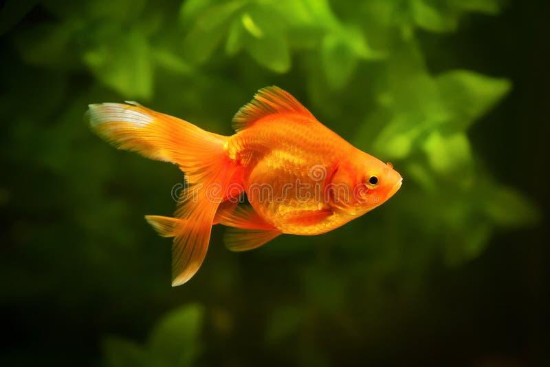在水族馆的金鱼有绿色植物的和石头 图库摄影