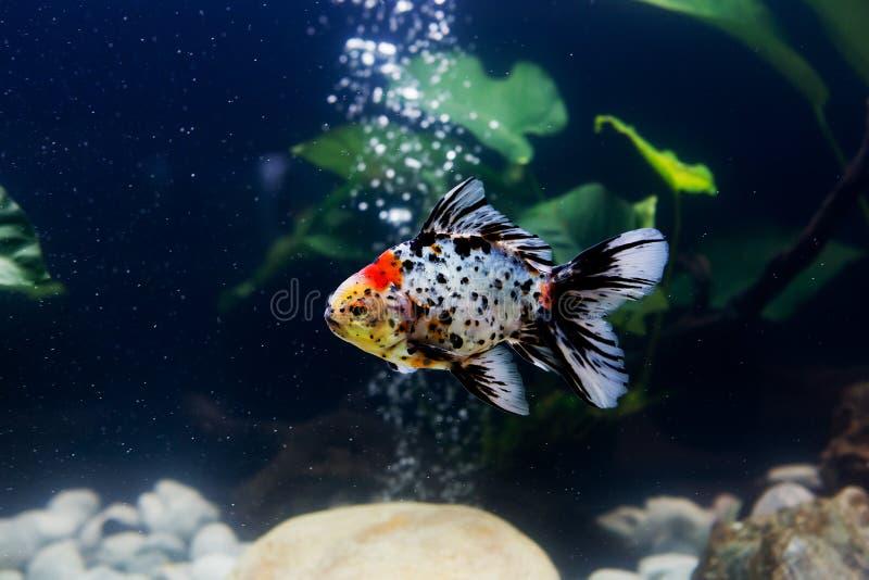 在水族馆的金鱼有绿色植物的 库存照片