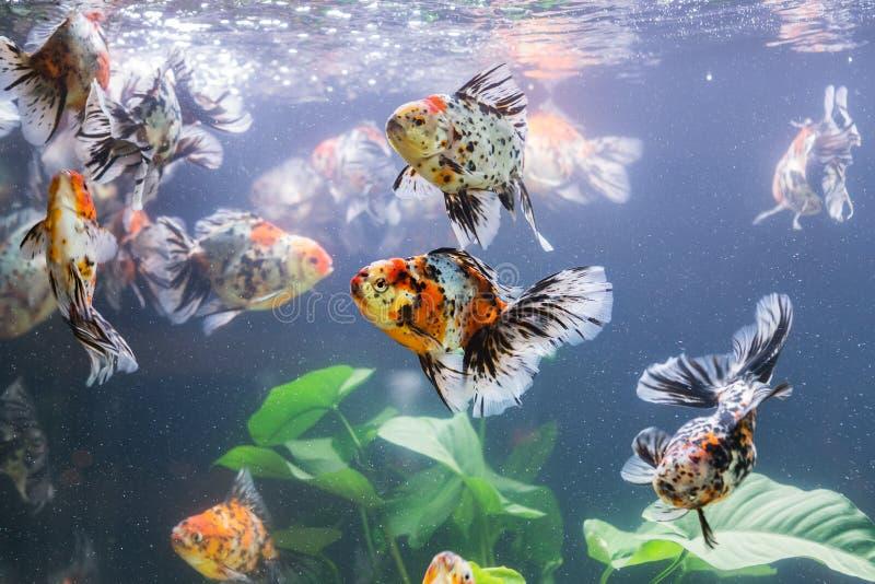 在水族馆的金鱼有绿色植物的 库存图片