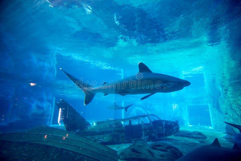 在水族馆的锭床工人鲨鱼 免版税库存图片