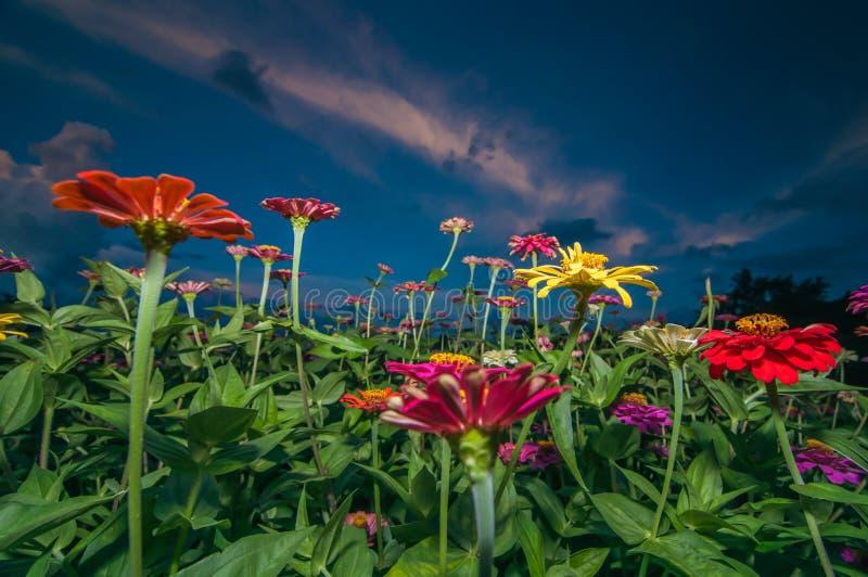 在黎明的百日菊属花 免版税库存照片