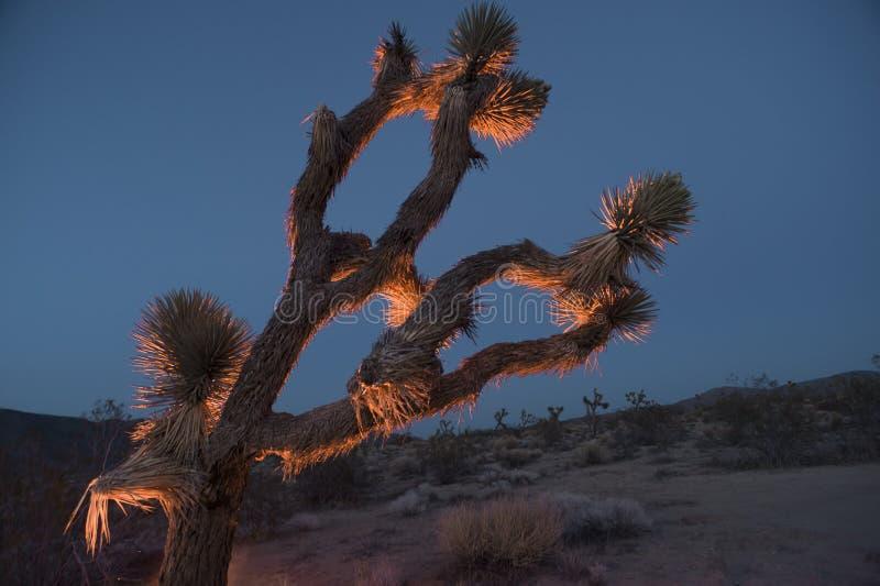 在黄昏的约书亚树 库存图片