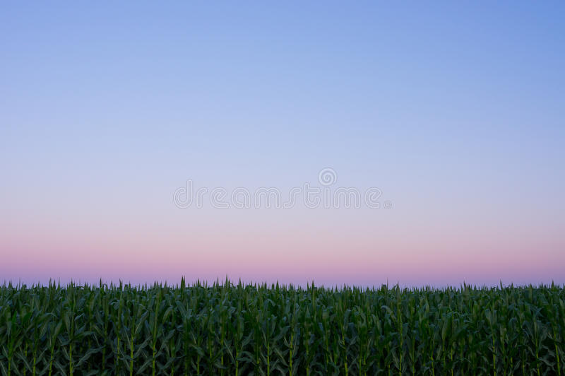 在黄昏的麦地 免版税图库摄影