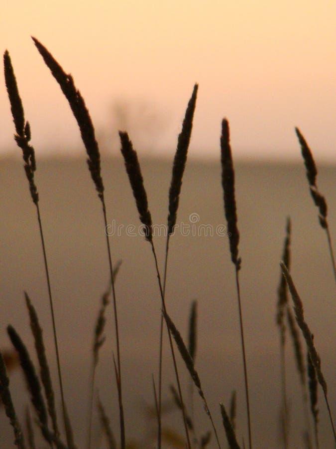 在黄昏的麦子 免版税库存照片