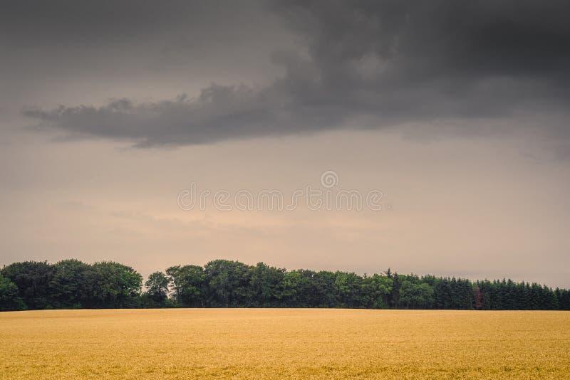 在黑暗的多云天气的金黄领域 库存照片