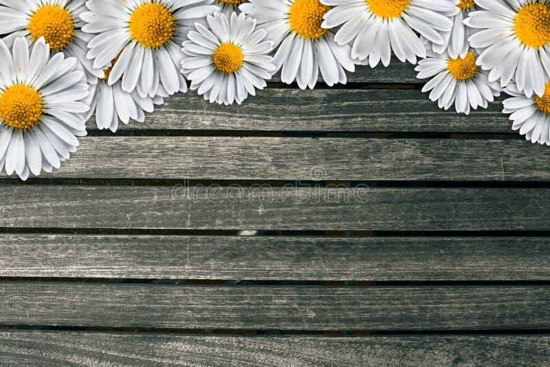 在黑暗的木背景的延命菊 免版税图库摄影