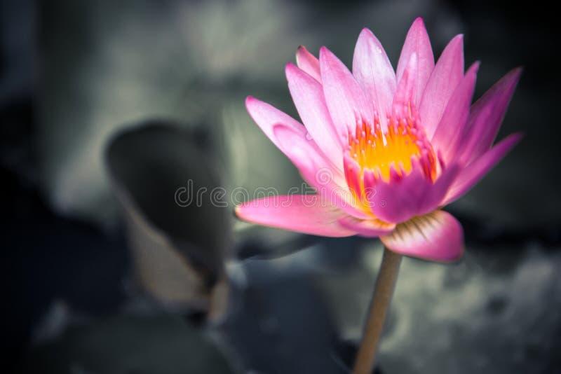 在黑暗的桃红色荷花弄脏了绿色叶子背景有拷贝空间的作为禅宗温泉背景 免版税库存图片