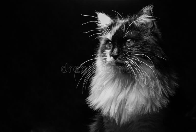 在黑暗的背景的庄严猫 免版税库存图片