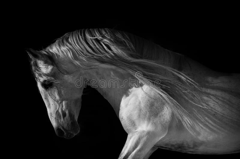 在黑暗的背景的马画象 库存照片