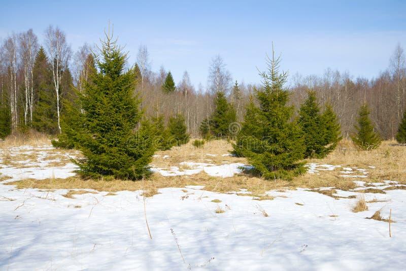 在4月木头的边缘的年轻冷杉木 冬天 俄国 免版税库存照片