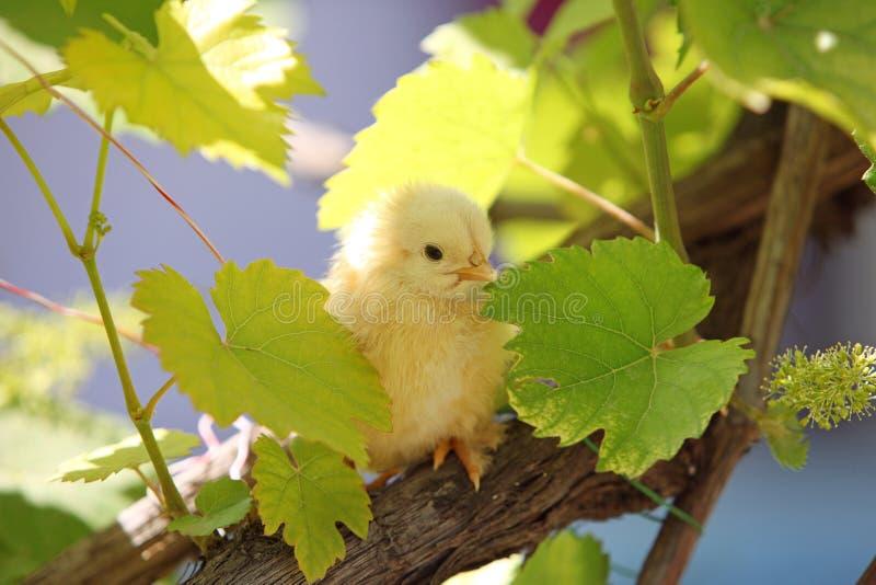 在晴朗的叶子的一只天小鸡 免版税库存图片