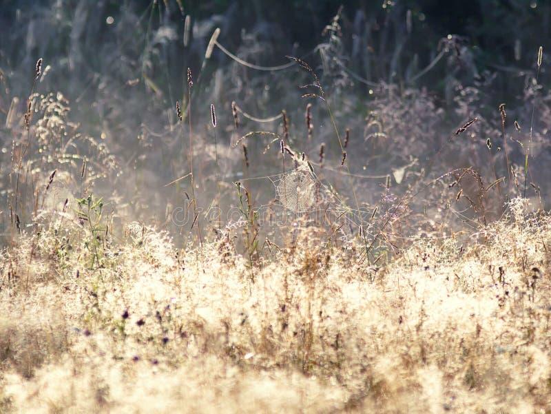 在晴朗的草甸上的蜘蛛网与朝阳的光芒的露水的 蜘蛛网在一个草甸在一个有雾的早晨,与浅深度的Shooted 免版税库存图片