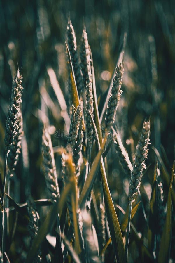 在晴朗的领域的绿色麦子耳朵 免版税库存照片
