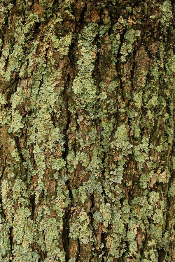 在结构树的地衣 免版税库存照片