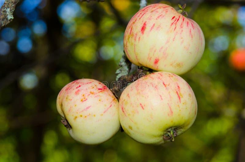 在结构树的成熟苹果 免版税库存图片