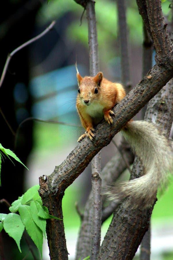 Download 在结构树的灰鼠 库存照片. 图片 包括有 结构树, 通配, 敌意, 公园, 红色, 灰鼠, 开会, 野生生物 - 72365912