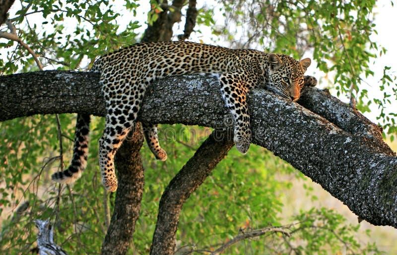 在结构树的豹子 免版税图库摄影