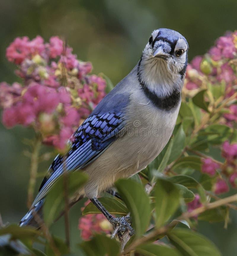 在绉绸桃金娘的蓝鸟 免版税图库摄影