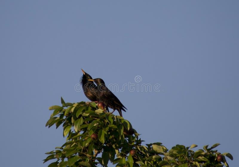 在洋梨树的两个thrushs黑鹂 库存照片