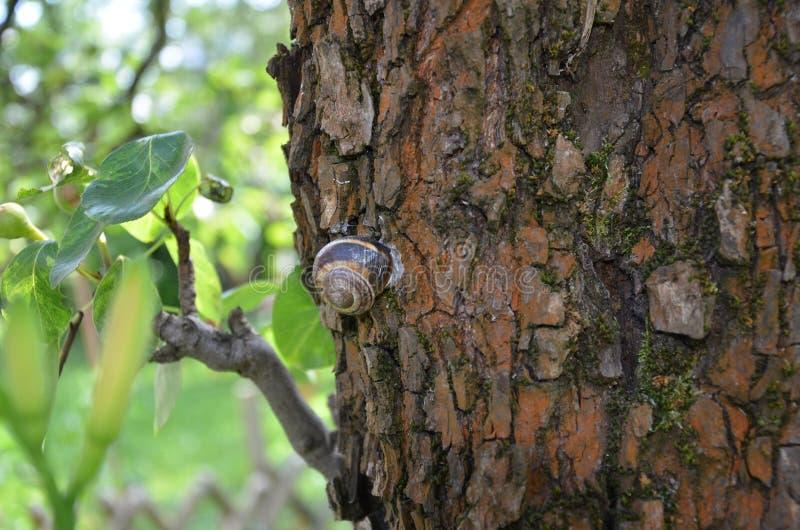 在洋梨树的蜗牛 免版税图库摄影