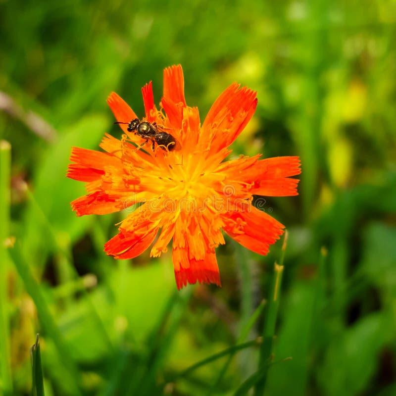在年轻橙色蒲公英的飞过的昆虫 库存照片