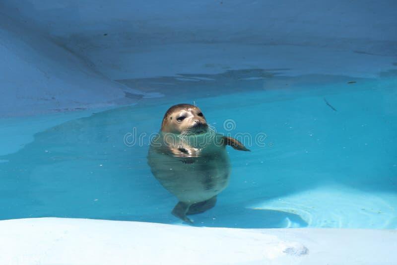 Download 在水池的封印 库存照片. 图片 包括有 摄影, 港口, 哺乳动物, 水平, 动物园, atlantes, 海洋 - 93475880